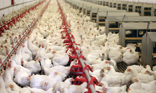 Ghana Revival of the poultry industry